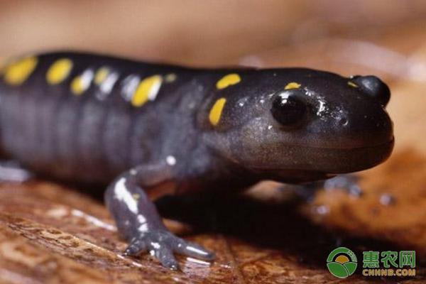 黑蝾螈有毒吗?黑蝾螈吃什么?