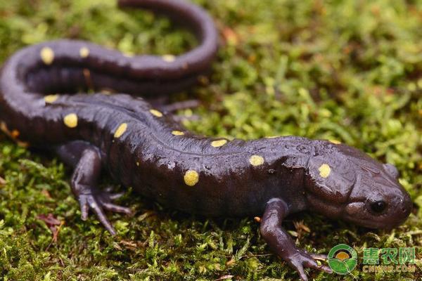 黑蝾螈吃什么?