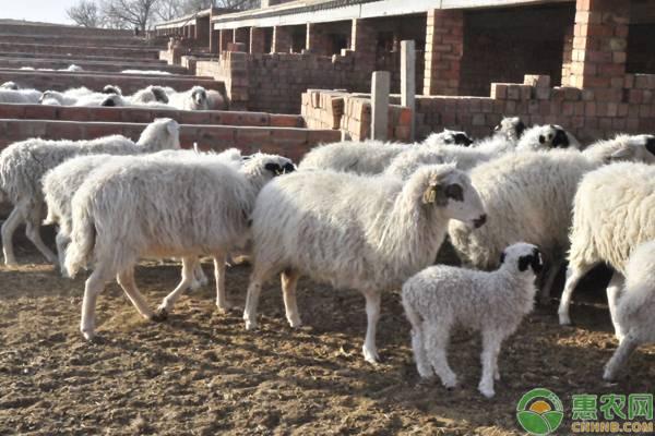 这三种饲料一定不要生喂羊!养羊户注意了!
