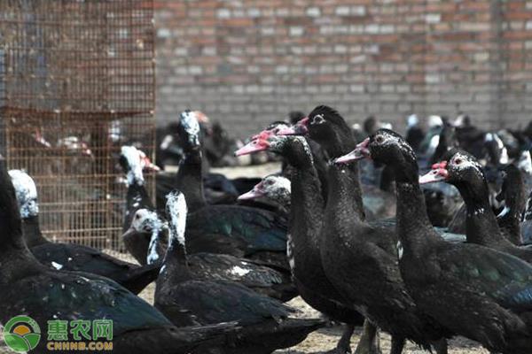 火鸭的养殖前景怎么样