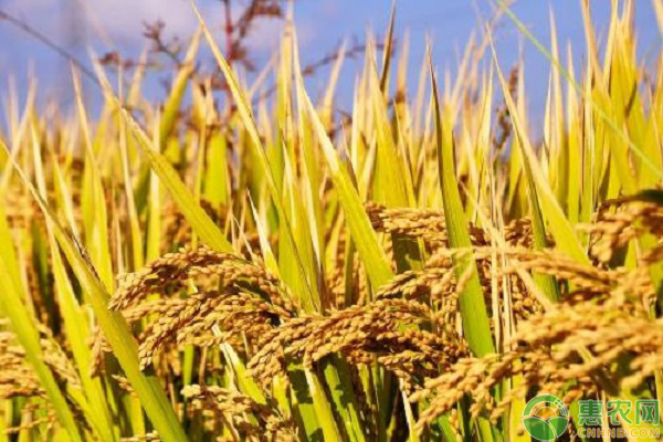 水稻行情见好的原因