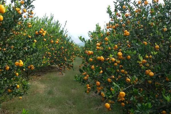 2019年10月全国柑橘价格最新行情分析