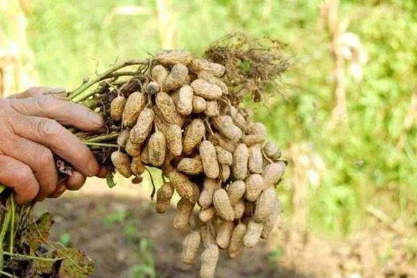 花生优良的品种有哪些?不错的花生品种介绍