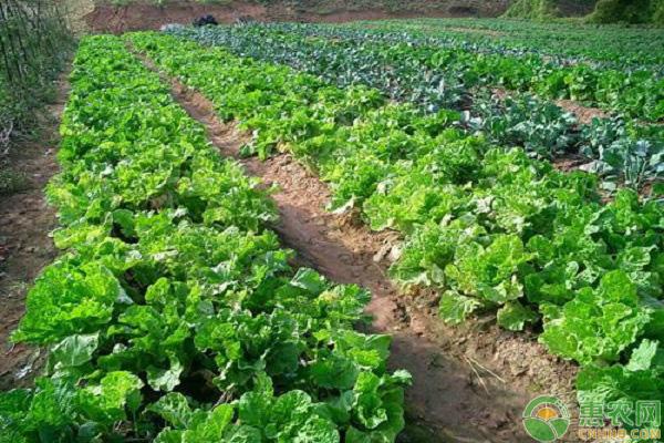有机蔬菜的高效种植技术
