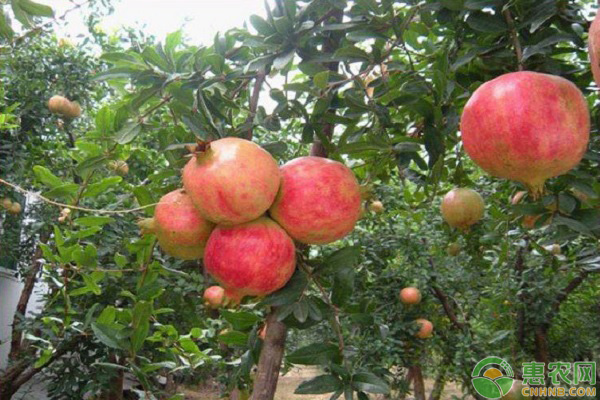 10月石榴树的种植管理