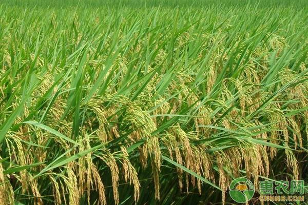 水稻开花期用药的三大要点,农民朋友得知道!