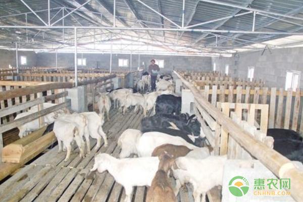 豆腐渣如何养羊?都有哪些注意事项?