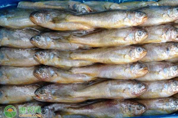 冷冻黄花鱼多少钱一斤?新鲜黄花鱼是如何冷冻贮藏的?