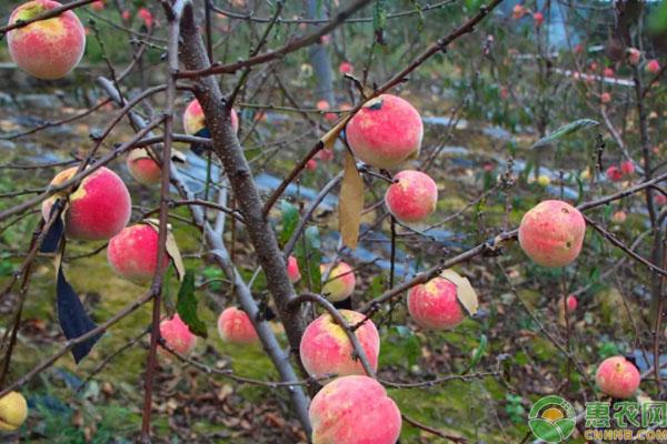 冬桃种植致富