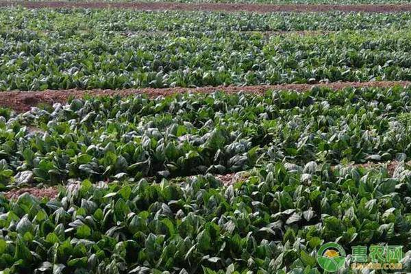 秋菠菜种植时间和种植方法