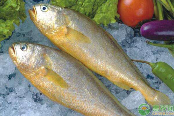 洛阳大黄鱼价格