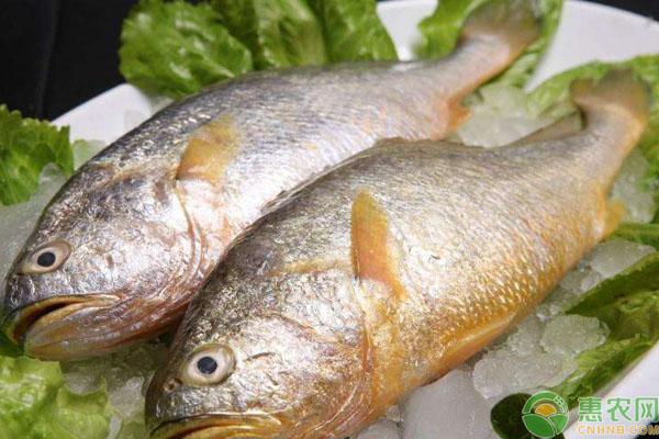 大黄鱼价格行情