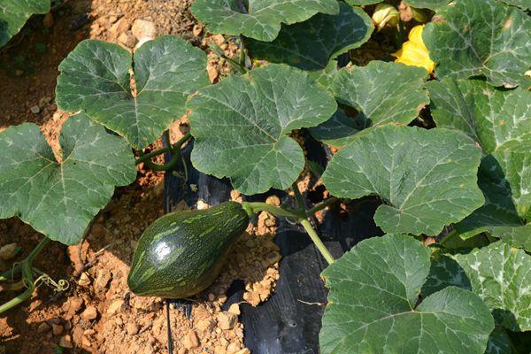 甜度高的南瓜品种介绍