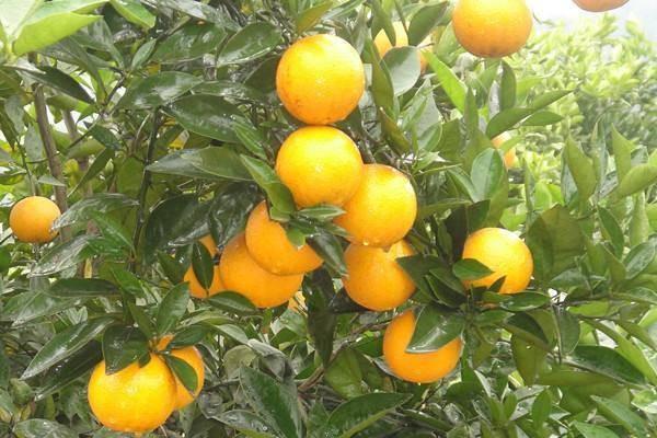 冰糖橙的高产栽培技术