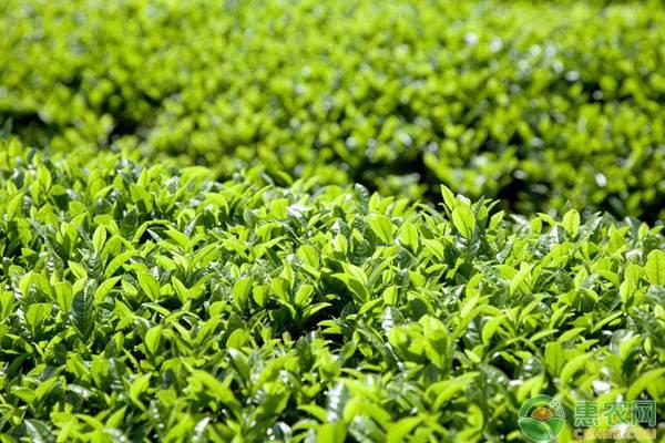 種好茶葉需要注意什么?這七點至關重要!