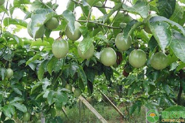 引種百香果