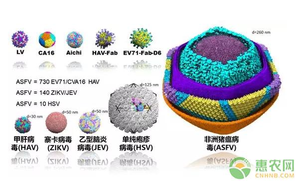 好消息,中国成功解析猪瘟病毒!非洲猪瘟的病毒结构到底是什么?