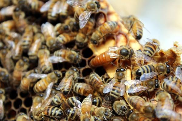 蜂蜜的养殖前景如何?选什么品种效益较好?(附养殖技术)