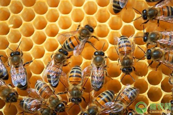 蜂蜜的养殖前景如何?选什么品种效益较好?