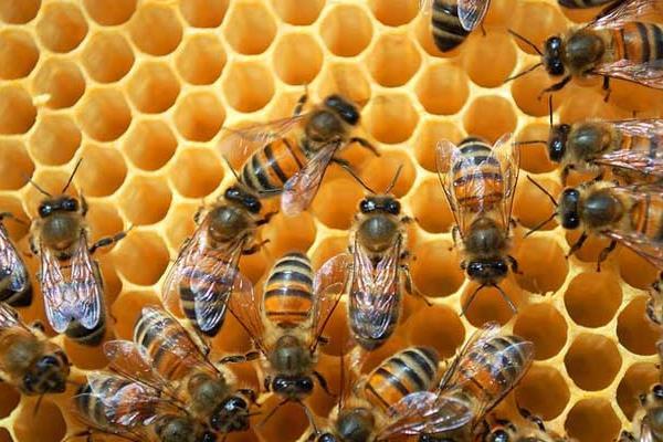 蜜蜂怎么养殖?蜜蜂的养殖前景如何?