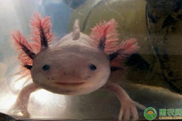 墨西哥蝾螈的养殖方法