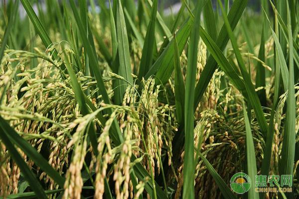 水稻多少�X一斤?