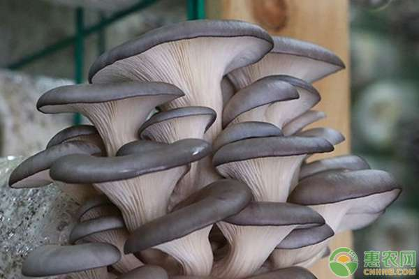 平菇种植技术