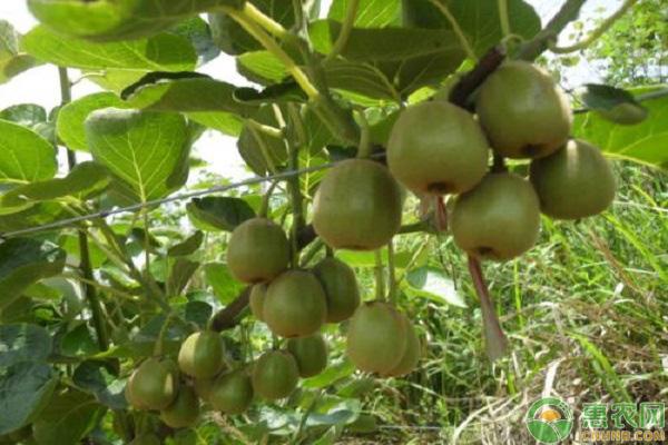 猕猴桃产业种植