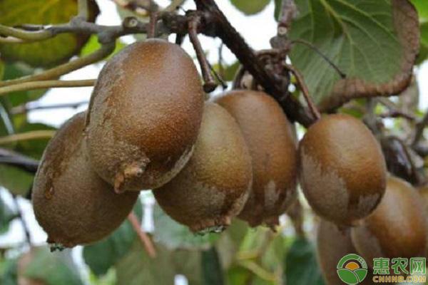 猕猴桃种植致富