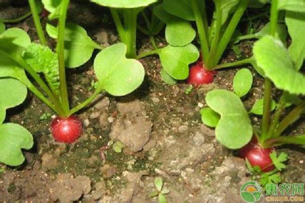 樱桃萝卜种植