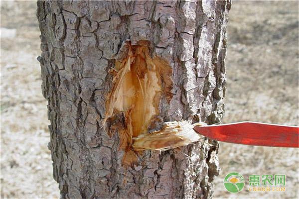 杨树腐烂病是什么症状?有哪些防治措施?