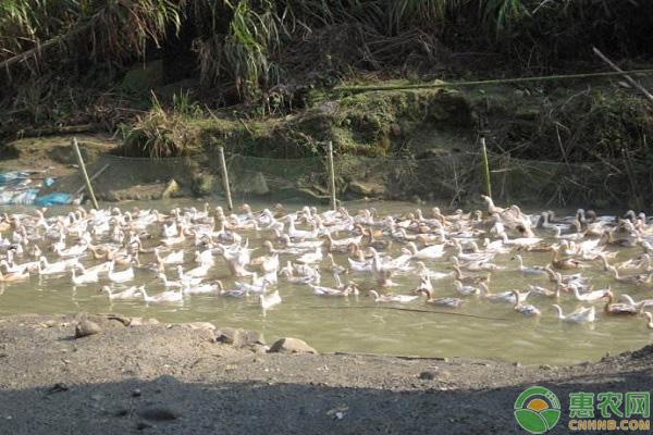 水库养鸭的注意事项