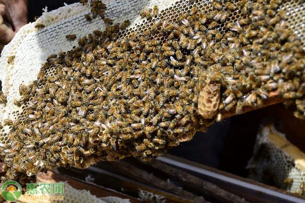 土蜜蜂养殖方法