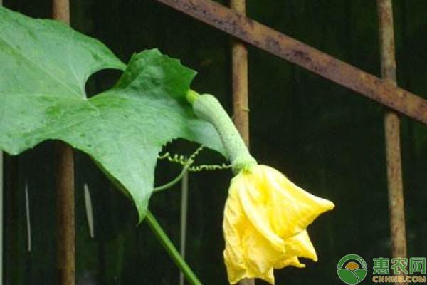 絲瓜種植方法