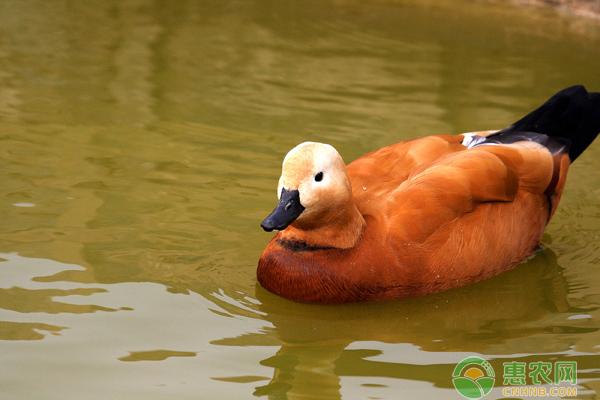 赤麻鸭喜欢什么食物?赤麻鸭人工养殖要点