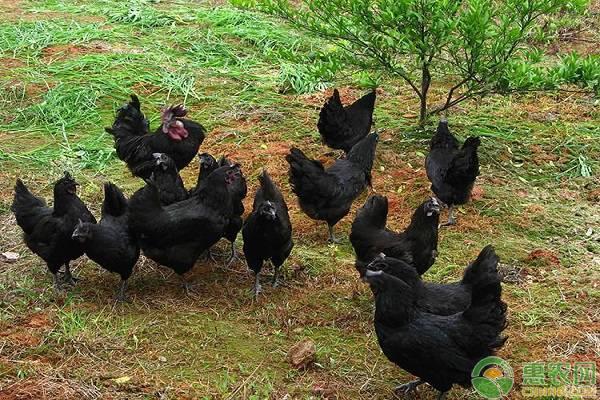 要想养好五黑鸡,需掌握这六个要点!