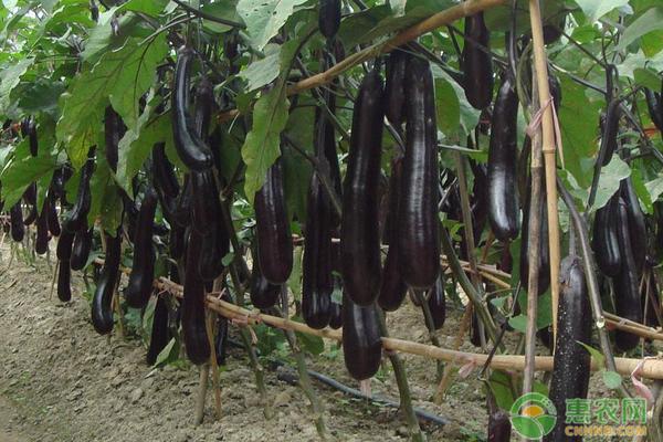 茄子高产种植方法