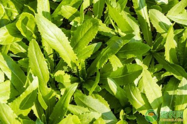 高品质油麦菜种植方法