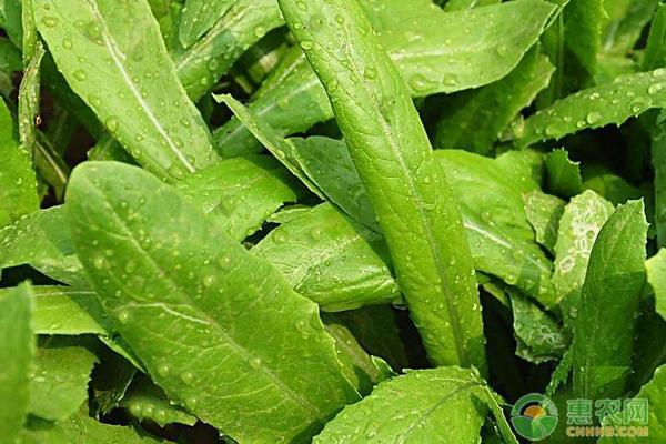 种植高品质油麦菜