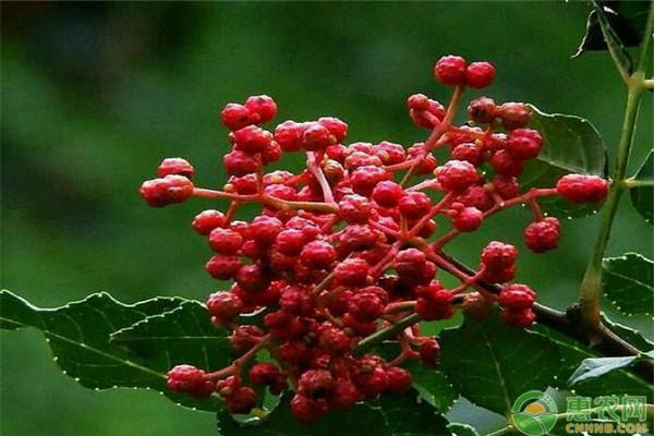 花椒树在多雨水的地方能种植吗