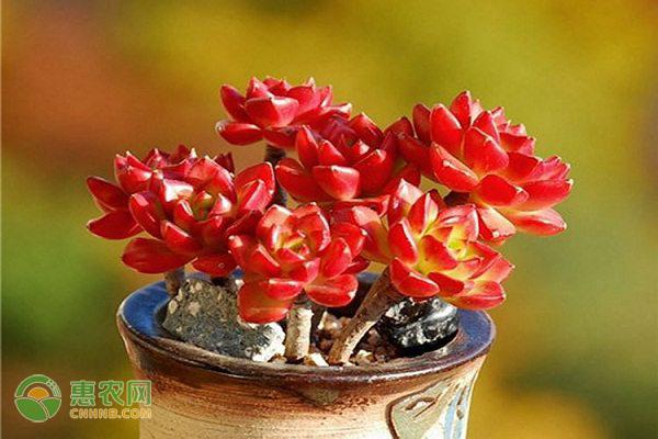 多肉植物红宝石怎么养?这六点花友必看!