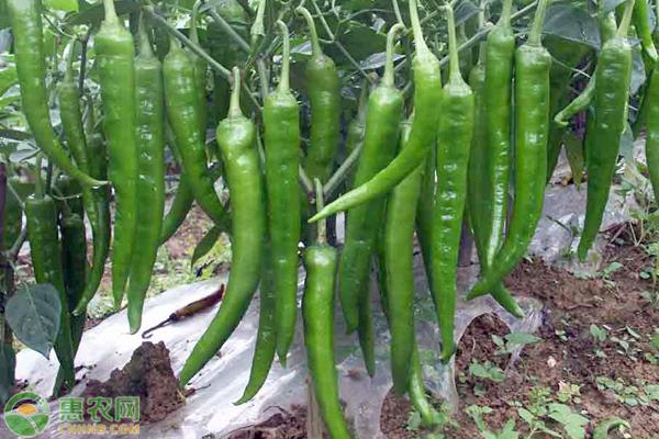 国家无公害农蔬菜生产技术规范