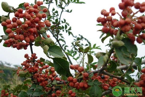 花椒树冬季可以修剪吗?有哪些修剪方法?