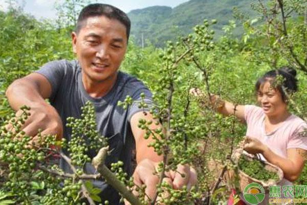 花椒树修剪