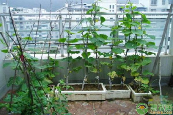阳台黄瓜种植技术
