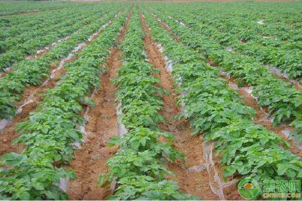 土豆种植管理