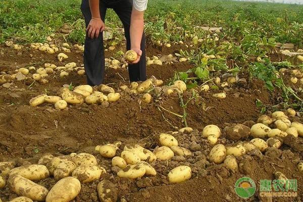土豆管理技术