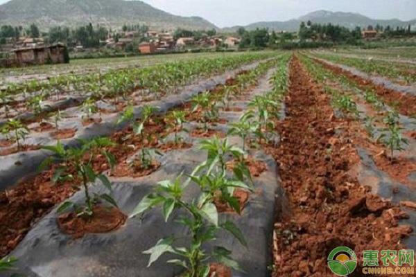 辣椒產量低的解決方法