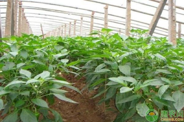 辣椒生長調節劑的應用
