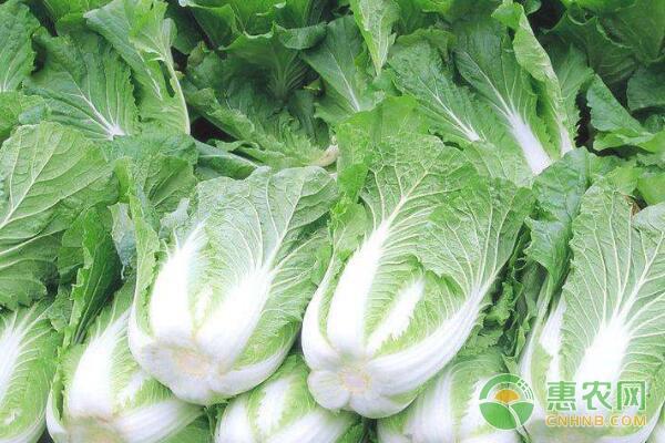 如何防治大白菜不包心